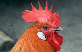 why do roosters have wattles live
