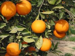 نتيجة بحث الصور عن البرتقال اليافاوي