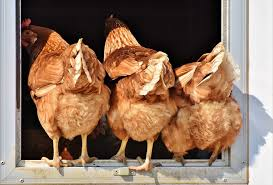 Imports Business Imported Chicken Tariffs A Boom For Big Business Bust For