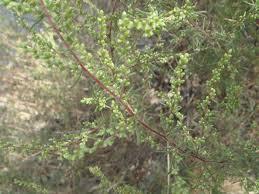 Artemisia campestris - Wikipedia