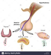 The Hypothalamic Pituitary Thyroid Axis The Stock Photo 50328084