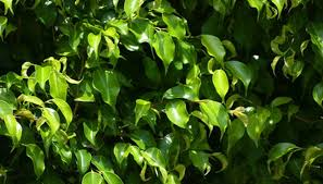 ficus trees grow in the jungle explaining some of their more perplexing habits as houseplants