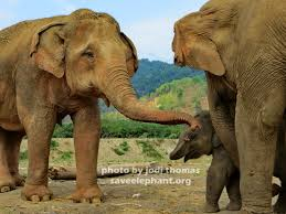 baby elephant photo save elephant foundation could baby elephant navann be most popular at enp