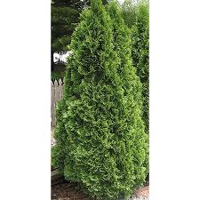 2.25-Gallon Emerald Green Arborvitae Screening Shrub (L5480)