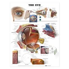 Laminated Anatomy Charts The Eye Anatomical Chart Poster Laminated
