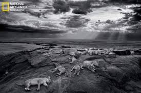 serengeti lions seen in new light thanks to epic interactive essay