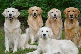 american vs english golden retrievers. Exellent American A Group Of Golden Retrievers All Related Showing The Various Shades Throughout American Vs English