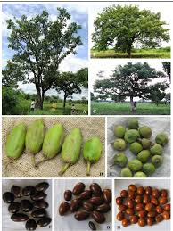 Image result for shea tree