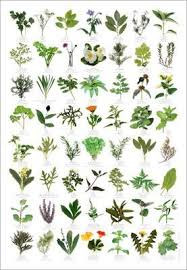 Herbs Table Chart Pdf Garden Plant Identification Herbs