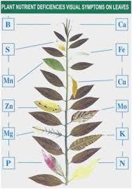 Plant Nutrient Deficiency Chart 59 Pretty Pictures Of Plant Nutrient Deficiency Chart