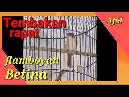 Pancingan burung flamboyan agar lekas bunyi dan gacor. Download Burung Flamboyan Jantan Mp3 Mp4 3gp Flv Download Lagu Mp3 Gratis