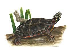 painted turtle on turtle wall art painting with painted turtle art fine art america