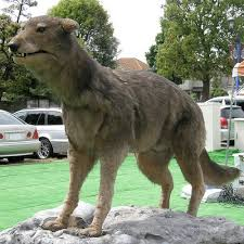 grey wolf size extinct japanese wolves