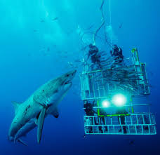 the amazing great white shark tibba the great white shark is notable for its size mature female individuals growing up to 6 1 m 20 ft in length and 1 950 kg 4 300 lb in weight