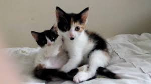 calico kittens for sale. Simple Sale 9 Week Old Calico And Tortoiseshell Kittens For Sale To Calico Kittens For Sale Gumtree