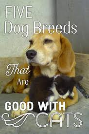 the beagle is one of the top five dog breeds that are good with cats