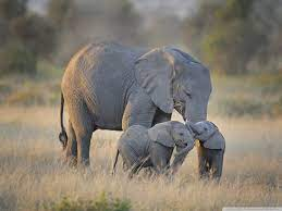 African Elephants Mother and Adorable ...
