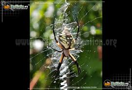 full sized image 9 of the black and yellow garden spider