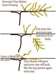 Clear And Simple Diagram For Grapevine Pruning A Grape