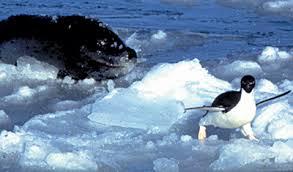 emperor penguin predators and prey. Fine Emperor Adlie And Leopard Seal On Emperor Penguin Predators And Prey E