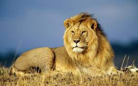 African Lion Wallpaper Big Cats Animals ...