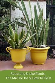 repotting snake plants easy tips for