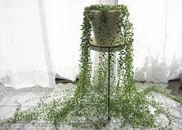 「冬 観葉植物 強い グリーンネックレス」の画像検索結果