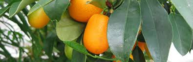Growing Native Fruit Trees Pawpaws And Persimmons With Lee Reich Fruit Trees For North Florida