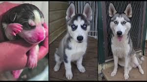 siberian husky newborn puppies. Simple Puppies MILEENA  SIBERIAN HUSKY NEWBORN PUPPY TO ADULT WEEKLY TIME LAPSE BIRTH   1 YEAR OLD In Siberian Husky Newborn Puppies Y