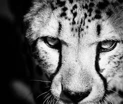 black and white animal photography.  And Image 0 And Black White Animal Photography