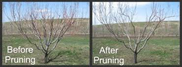 How To Prune Fruit Trees  Organic Gardening BlogCan You Prune Fruit Trees In The Summer