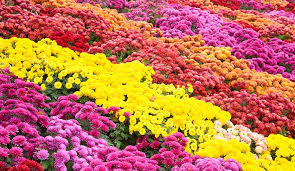 Growing Chrysanthemum: Learn How to Plant & Care for Mums