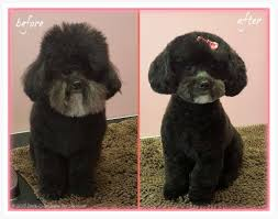 toy poodle grooming before and after
