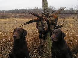 chocolate lab pheasant hunting. Interesting Chocolate Chocolate Labs And Pheasants To Lab Pheasant Hunting I