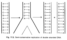 essay on dna replication genetics semi conservative replication of double stranded dna