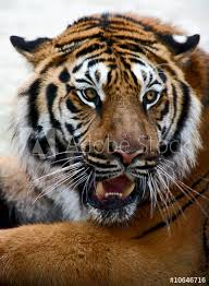 tiger face growling. Fine Face Closeup Of Tiger Growling Face Tiger Panthera Tigris Altaica Throughout Face Growling V
