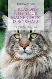5 Reasons Why Your Maine Coon Is So Small Purr Craze