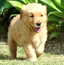 cute golden retriever puppies kissing.  Golden Cute Golden Retriever Puppies Kissing Dax The  Daily Puppy On T