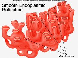 animal cell endoplasmic reticulum. Beautiful Reticulum Throughout Animal Cell Endoplasmic Reticulum G