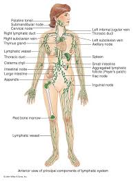 Flow Chart Lymphatic System Lymphatic Drainage Massage