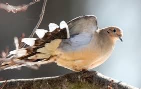 Mourning Dove Audubon Field Guide