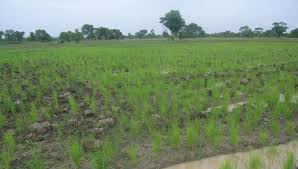Egyptian Invention Halves Rice Crop Irrigation Water Use Aginnovators