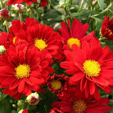 bonnie red yoder garden mum plant