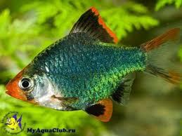 на тему рыбы гурами реферат на тему рыбы гурами