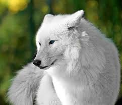 pure white wolf pup.  Pup Secrets In The Snow In Pure White Wolf Pup C