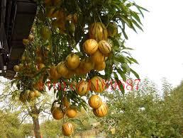 Online Shop 100 pcs/<b>bag</b> mini sweet melon Melon Tree Non GMO ...
