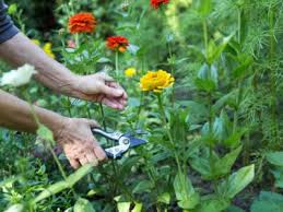 how to harvest cut flowers harvesting