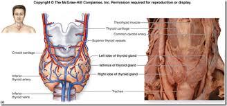 Thyroid Anatomy Anatomy Of The Thyroid Gland Medatrio