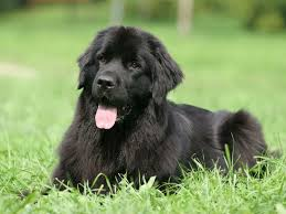 Newfie Puppy Growth Chart So What Else Is A Newfoundland Besides Big American