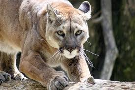 cougar hunting dating